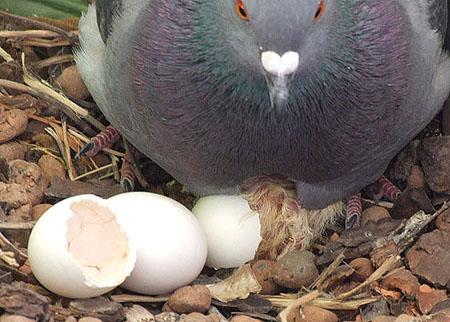 Trứng Bồ Câu - Thực phẩm An Tâm