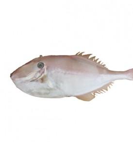cá-da-bò